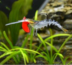 Lead head Live shrimp lure