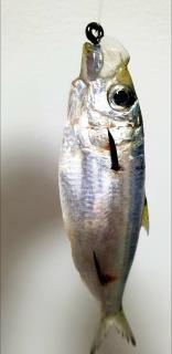 Tamban(Sardinellas)fresh bait