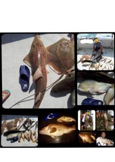 Tamban(Sardinellas) quality fresh bait