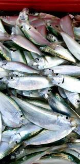 Tamban(Sardinellas) Fresh Salted Quality bait