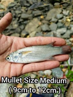 Mullet/Silver Mojarra/Tamban/Assam